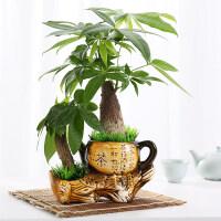 客厅摇钱树植物室内绿植金钱树盆栽小盆景净化空气绿植发财树盆栽 jv1