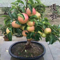矮桩嫁接苹果树盆栽盆景带果室内四季红富士水果好成活阳台小果树
