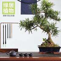 罗汉松盆栽大盆景 室内绿植花卉办公室植物 *礼品