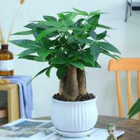 发财树盆栽植物室内花卉植物室内花绿植室内客厅招财树好养小盆栽