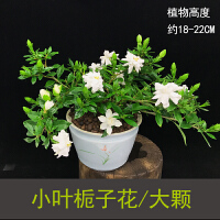 小叶栀子花盆栽四季开花不断花卉阳台观花植物绿植室内花好养