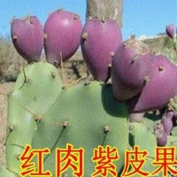 开花食用结果苗食用的结果当年盆栽美容结果果实仙人掌食用苗
