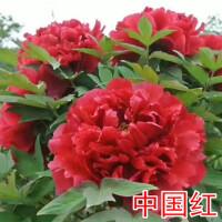 正宗洛阳牡丹大花苗当年开花卉精品重瓣盆栽大苗洛阳红品种