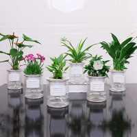 发财树盆栽室内植物绿萝水培栀子花卉办公室小绿植水养多肉吸甲醛