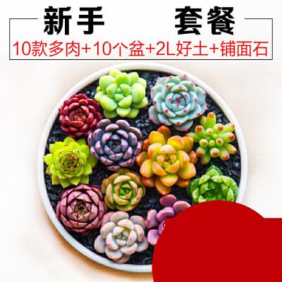 【支持礼品卡】多肉植物种植新手套餐肉肉植物多肉组合盆栽绿植花卉送花盆送土ju6 漂亮  有趣