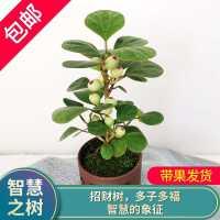 小盼菩提发财树盆栽植物四季常青办公室内植物开业招财绿植花卉