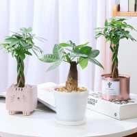 发财树盆栽植物室内好养客厅办公室观叶绿植花卉桌面小盆景