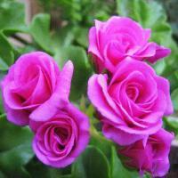 垂吊天竺葵盆栽花卉花苗阳台吊重瓣万岁夏日玫瑰四季带花发货