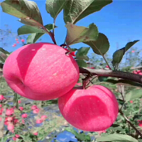 【包邮】红富士延安苹果5斤装(70商品果)