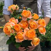 新手玫瑰花苗盆栽组合情人节开花栽花花卉创意蔷薇大花四季阳台