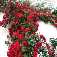 墙微花树苗 攀爬花苗藤爬藤月季阳台玫瑰四季开花欧月花苗