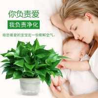 除净化空气绿萝盆栽室内植物绿植180长藤绿箩新房家用吸甲醛