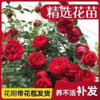 藤本月季花苗爬藤植物庭院阳台大花浓香玫瑰盆栽花卉蔷薇四季开花
