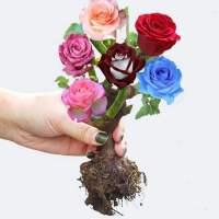带盆载好盘景裁大玫瑰花盆栽 特大大朵苗开花室内花卉绿植蔷薇月