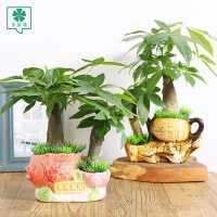 发财树盆栽植物室内小盆景客厅招财绿植水培花卉办公室盆栽发财树