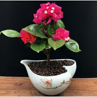 三叶梅三角梅花卉盆栽带花发货四季植物花期长的鲜花阳台绿植