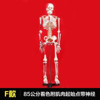 2018新品、人体骨骼模型教学45cm85cm支架肌肉骷髅可活动骨架模型 F款 85cm肌肉起止点带神经