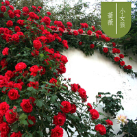 盘蕊月季蔷薇花苗大花浓香四季开花庭院爬藤墙盆栽植物法国礼服