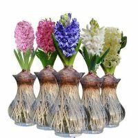 【支持礼品卡】绿植盆栽室水培植物进口花卉内土培水培风信子玻璃瓶套赛洋水仙 jv4