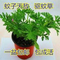 绿植盆栽 驱蚊草大苗 驱虫草香草植物室内小盆栽绿植花卉植物花苗