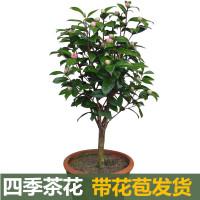 杜鹃山茶花盆栽花苗 一年四季开花 室内室外庭院花卉四季常青