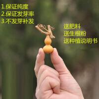 微型手捻小葫芦种子美国葫芦籽阳台观赏大葫芦种子草里金精品